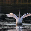 A swan at sunset on Lake James with wings unfurled.<br /> <br /> Photographer's Name: Jerry Byard<br /> Photographer's City and State: Anderson, Ind.