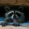 Laughing raccoon taken in my barn in Richland Township.<br /> <br /> Photographer's Name: J.R. Rosencrans<br /> Photographer's City and State: Alexandria, Ind.