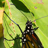 A close in look at the Monarch's feet gripping the leaf.<br /> <br /> Photographer's Name: Jerry Byard<br /> Photographer's City and State: Anderson, Ind.