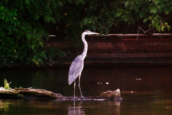 A crane fishing in the Tippecanoe River.<br /> <br /> Photographer's Name: J.R. Rosencrans<br /> Photographer's City and State: Alexandria, Ind.