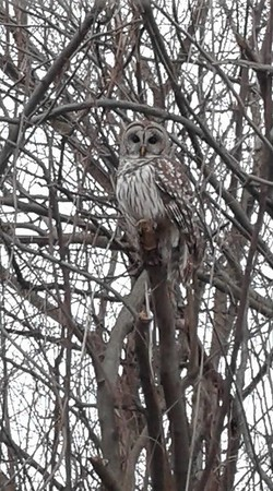 i took this picture on 600N near Alexandria, Indiana. A beautiful owl. <br /> <br /> Photographer's Name: Tina Stewart<br /> Photographer's City and State: Anderson , Ind.