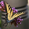 A partially opened swallowtail butterfly at Mounds Park.<br /> <br /> Photographer's Name: Jerry Byard<br /> Photographer's City and State: Anderson, Ind.