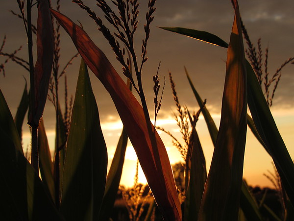 Sunset, behind the corn.<br /> <br /> Photographer's Name: Harry Van Noy<br /> Photographer's City and State: Lafayette Township, Ind.