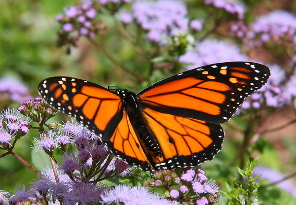 A pretty Monarch butterfly at Mounds Park by the Nature Center.<br /> <br /> Photographer's Name: Jerry Byard<br /> Photographer's City and State: Anderson, Ind.