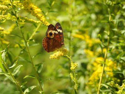 Buckeye butterfly on goldenrod.<br /> <br /> Photographer's Name: Sharon Markle<br /> Photographer's City and State: Markleville, Ind.