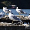 King of the Hill,,,, Birds at Geist Resv.<br /> <br /> Photographer's Name: J.R. Rosencrans<br /> Photographer's City and State: Alexandria, IN