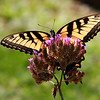 A backlit swallowtail on a flower at Mounds Park.<br /> <br /> Photographer's Name: Jerry Byard<br /> Photographer's City and State: Anderson, Ind.
