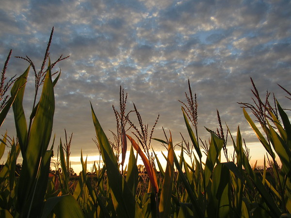 Evening sky above the corn fields.<br /> <br /> Photographer's Name:  Harry Van Noy<br /> Photographers City and Country: Lafayette Township, Ind.