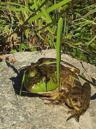 """""""Some people see a prince, some people see a frog."""" My farm pond in Richland Township.<br /> <br /> Photographer's Name: J.R. Rosencrans<br /> Photographer's City and State: Alexandria, Ind."""