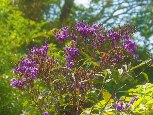 The Beauty of ironweed in Alexandria, Ind.<br /> <br /> Photographer's Name: J.R. Rosencrans<br /> Photographer's City and State: Alexandria, Ind.