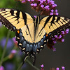 A beautiful swallowtail at Mounds Park.<br /> <br /> Photographer's Name: Jerry Byard<br /> Photographer's City and State: Anderson, Ind.