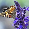 A butterfly enjoying a flower.<br /> <br /> Photographer's Name: Harry Van Noy<br /> Photographer's City and State: Lafayette Township, Ind.