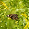 Buckeye butterfly in the pasture.<br /> <br /> Photographer's Name: Sharon Markle<br /> Photographer's City and State: Markleville, Ind.