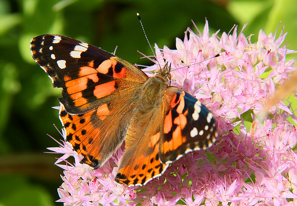 It was a good day for butterflies around my house.<br /> <br /> Photographer's Name: Jerry Byard<br /> Photographer's City and State: Anderson, Ind.