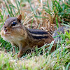 Chipmunk.<br /> <br /> Photographer's Name: Ron Crider<br /> Photographer's City and State: Anderson, Ind.
