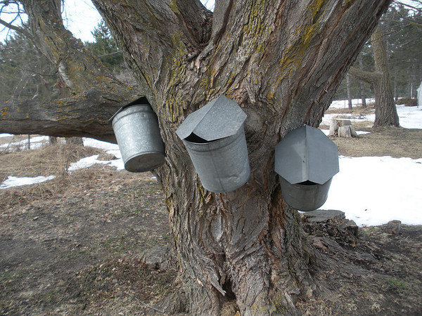 <b>Submitted By:</b> Jerry Freels <b>From:</b> Traverse City <b>Description:</b> A sign of the time, maple sap collection.