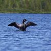 Male Loon on Roland Lake in Upper Michigan.<br /> <br /> Photographer's Name: Michell  Clishe<br /> Photographer's City and State: Traverse City, MI