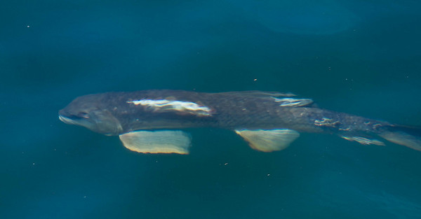 <b>Submitted By:</b> Peggy Zinn <b>From:</b> Traverse City <b>Description:</b> Even the Fish turned out to watch the Blue Angels