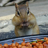 <b>Submitted By:</b> Jack Yezbak <b>From:</b> Traverse City <b>Description:</b> Chipmunk with cheeks full of cherry pits