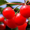 "<span style=""display:none"">Email: slippy4365@yahoo.com</span> <b>Submitted By:</b> Susan Armstrong <b>From:</b> Interlochen <b>Description:</b> Fresh tart cherries on the tree"