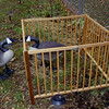 <b>Submitted By:</b> MOLLY CARROLL SHUGART <b>From:</b> TRAVERSE CITY <b>Description:</b> THOSE ARE PLASTIC GEESE...