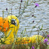 <b>Submitted By:</b> Sherry L. Good <b>From:</b> Interlochen <b>Description:</b> A duck having fun in Green Lake.
