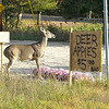 <b>Submitted By:</b> Jill Kipley <b>From:</b> Williamsburg <b>Description:</b> Doe on Four Mile Road, TC.