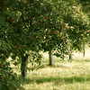 <b>Submitted By:</b> Roya Tremp <b>From:</b> Traverse City, MI <b>Description:</b> Cherry Field next to Peninsula General Store