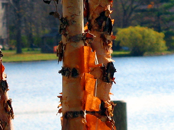 Old Birch - Boardman Lake Paul J Nepote Traverse City, Michigan Canon PowerShot A630