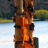 Old Birch - Boardman Lake<br /> Paul J Nepote<br /> Traverse City, Michigan<br /> Canon PowerShot A630