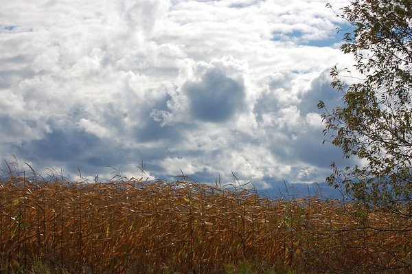 <b>Submitted By:</b> Jennifer Earls <b>From:</b> Lansing, MI <b>Description:</b> Cornfield on a windy day. Taken off a dirt road between Central Lake and Eastport. September 2012.