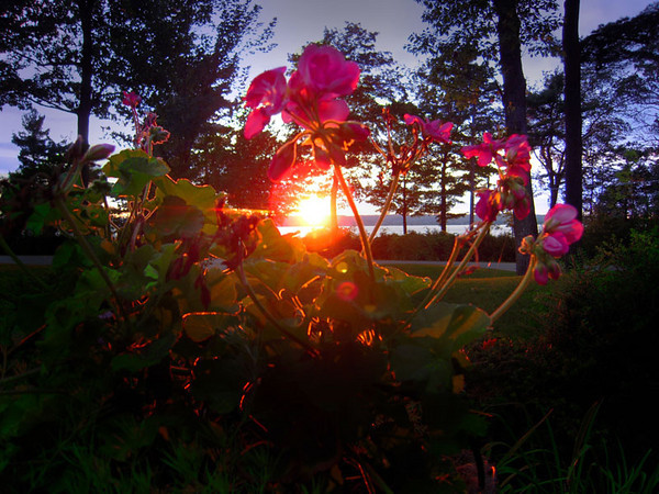 <b>Submitted By:</b> Gerald Martineau <b>From:</b> Arlington, VA <b>Description:</b>      The lingering blossoms of a Geranium plant frame the sun as it sets over West Grand Traverse Bay from the front yard of a home on Peninsula Drive in Traverse City.  Nikon Coolpix S600 ISO 100 1/40th at f 2.7