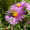<b>Submitted By:</b> jerry sura <b>From:</b> traverse city <b>Description:</b> Honey bee at work in fall bloom of New England aster, along TART near yellow caboose.