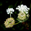 Queen Ann's  Lace<br /> <br /> Photographer's Name: Pamella  Murphy<br /> Photographer's City and State: Traverse City, MI