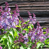 C.D. Dahlquist<br /> Kingsley, MI<br /> <br /> French lilacs at my granary - Spring, 2008