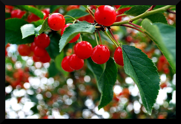 <b>Submitted By:</b> Emily DeFour <b>From:</b> Cedar <b>Description:</b> This photo was taken in Cedar, MI on July 15 2009. Cherries ripe for the picking!
