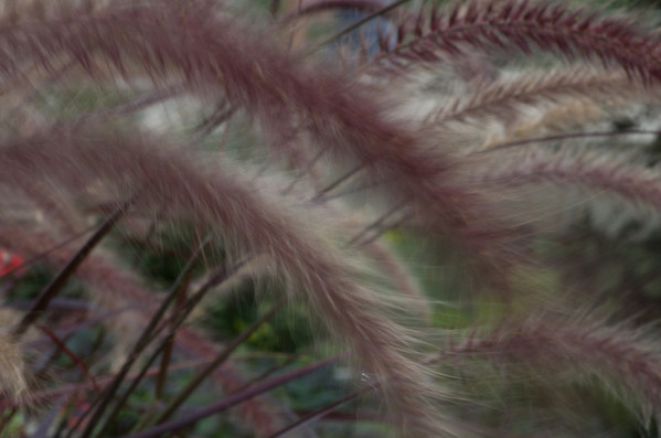 <b>Submitted By:</b> laura lavrack <b>From:</b> Lake Ann <b>Description:</b> After several unsuccessful attempts, we caught this shot which better conveyed the feel of fountain grass waving in the breeze.