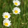Four Flowers.<br /> <br /> Found Everywhere<br /> <br /> <br /> John Novosad<br /> Houghton Lake