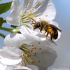 <b>Submitted By:</b> Susan Niles <b>From:</b> Traverse City, MI <b>Description:</b> Bee on a cherry blossom