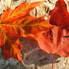 JoAnn Wilkinson<br /> Onaway, Michigan<br />  <br /> The Orange of Fall, in Onaway, MI