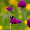 <b>Submitted By:</b> laura lavrack <b>From:</b> Lake Ann <b>Description:</b> A friendly bee provided just the right accent to a yellow and magenta flowered canvas.