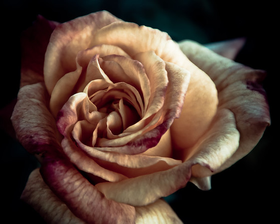 <b>Submitted By:</b> Peggy Sue Zinn <b>From:</b> Traverse City <b>Description:</b> The Time of the Rose
