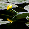 "Photographer Susan Niles    <br /> Traverse City, MI<br /> <br /> ""Reflections on the Pond""<br /> <br /> Photo taken on Boardman River<br /> Traverse City, MI"