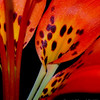 <b>Submitted By:</b> Susan Niles <b>From:</b> Traverse City, MI <b>Description:</b> Up close to a wild leopard lily while hiking Grand Traverse Nature Reserve