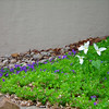 <b>Submitted By:</b> Christy Crawford <b>From:</b> Lake Ann <b>Description:</b> Trilliums and violets next to our house.