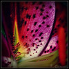 <b>Submitted By:</b> Nicole Chiaravalli <b>From:</b> Traverse City <b>Description:</b> The great part about the macro setting is that you get to explore a whole new world, such as this pink Tiger Lily.