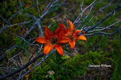 Submitted By: Christopher M Nepote From: Traverse City, Michigan Description: Flower growing wild on the Sleeping Bear Sand Dunes.