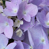 <b>Submitted By:</b> Lucille Hunter <b>From:</b> Williamsburg <b>Description:</b> Hydrangeas