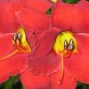 <b>Submitted By:</b> Sue O'Boyle <b>From:</b> Benzonia <b>Description:</b> daylilies