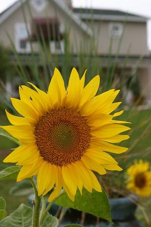 Bobi Murray, Chanhassen, MN<br /> 2007 Traverse City Friendly Garden Tour<br /> Sunflower at the farm<br /> Canon 20D